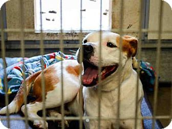 Mesa, AZ - American Bulldog Mix. Meet CAMERON, a dog for adoption. http://www.adoptapet.com/pet/17664209-mesa-arizona-american-bulldog-mix