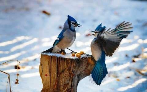 madár szajkó tél