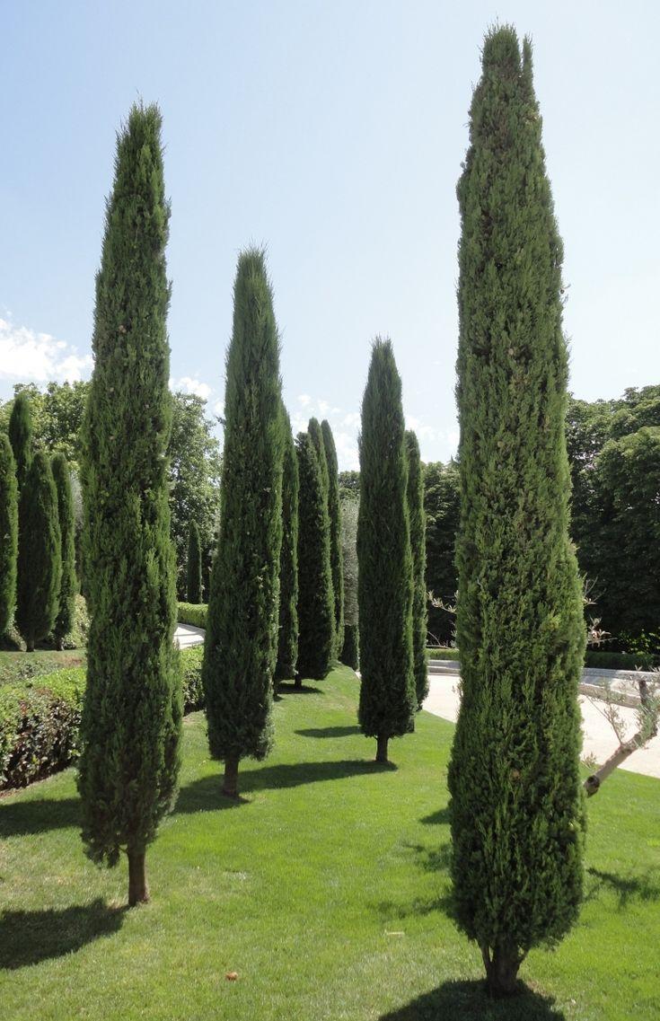 Cypressus Sempervirens Totem/Stricta