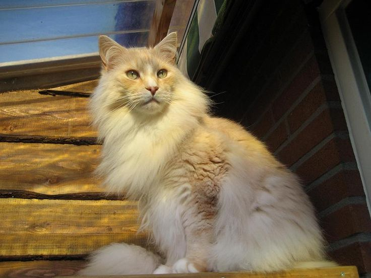 Maine Coon, red silver blotched & white (ds 09 22). NL* SP. Aiyana's Aton. Photo by #Elliekruithof