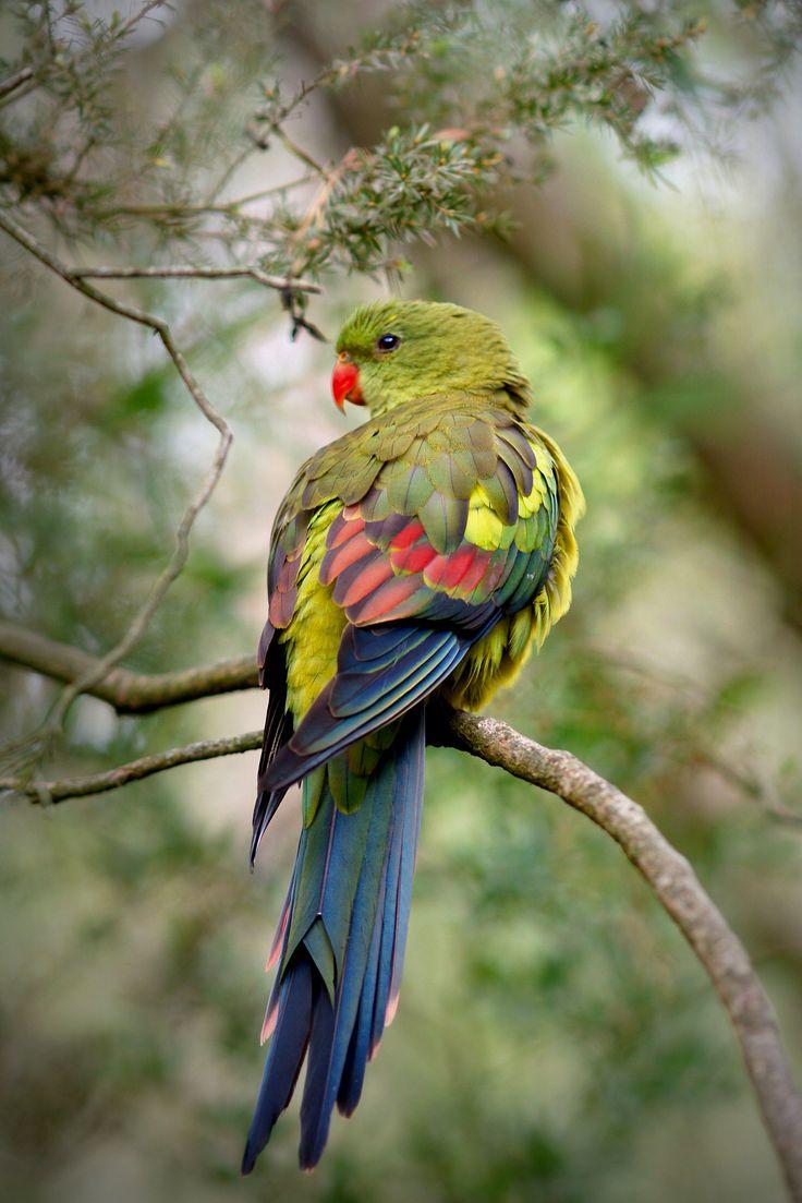 Regent Parrot (Polytelis anthopeplus).