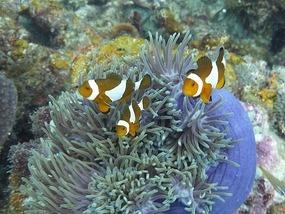 Clown fish, Perhentian Island