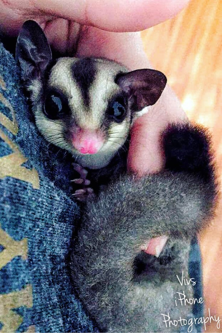 One of my babies 😁 Pocket Pets. Sugarbear glider. Adopted from Pocket Pets