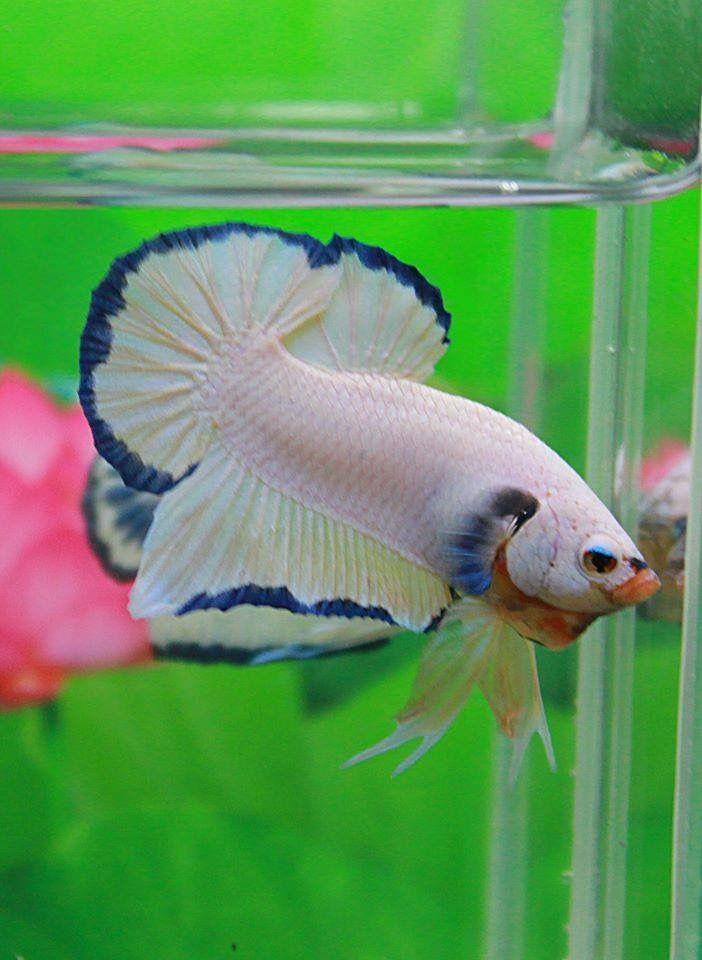 6071 best betta fish images on pinterest betta fish tank for Betta fish care water