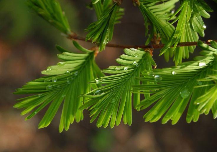 Kuestenmammutbaum Nadeln gruen Sequoia sempervirens