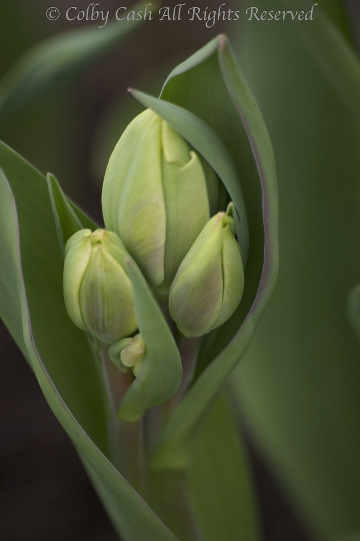 Hollandia Tulip Buds