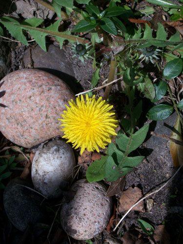 4-18-2012-dandelion-scotland