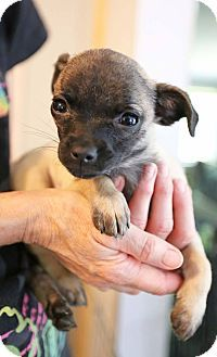 Hagerstown, MD - Pug/Chihuahua Mix. Meet Saki, a puppy for adoption. http://www.adoptapet.com/pet/18473868-hagerstown-maryland-pug-mix