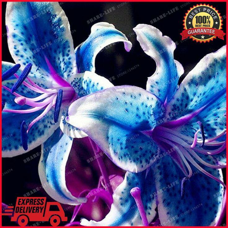 Blue lily flower bulbs not seeds lily flower bonsai