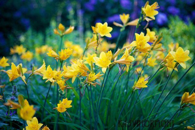 Päivänlilja - Kasvihormoni   Lily.fi