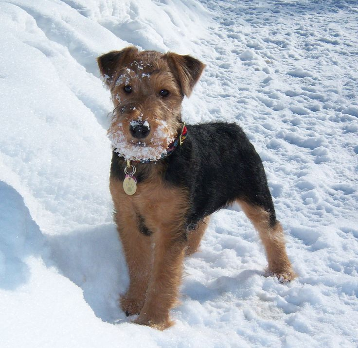 ⏪ Welsh Terrier ⏩ looks like a small version of the Airedale Terrier. It is a vigilant, active, cheerful dog that is affectionate and intelligent. Loving, devoted, playful and happy, it is usually patient with children and can withstand rough play. Developed in Wales, it was bred for its hunting abilities.