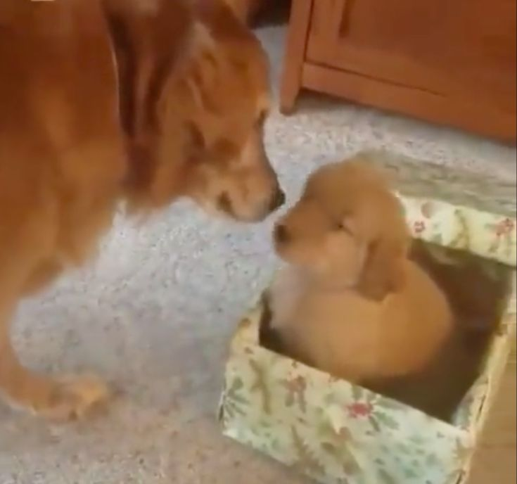 An Excited Dog Eagerly Opens His Christmas Present to Find a Brand New Puppy Inside