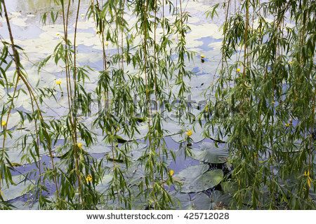 Lake with yellow water lilies seen through willow branches