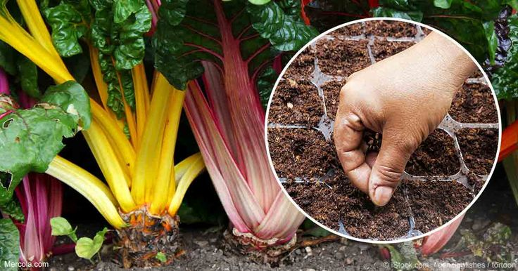 Swiss chard is strong and grows in a variety of climates; this colorful plant contains an abundance of phytonutrients and minerals. http://articles.mercola.com/sites/articles/archive/2017/03/31/how-to-grow-swiss-chard.aspx?utm_source=dnl&utm_medium=email&utm_content=art2&utm_campaign=20170331Z2&et_cid=DM140096&et_rid=1948072844