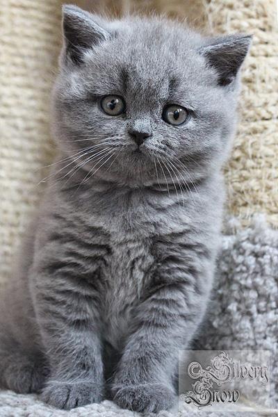 I shall have a gray kitty