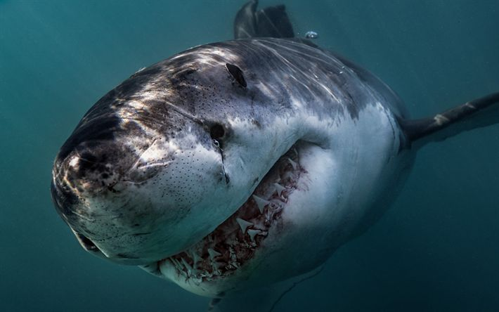 Download wallpapers Great White Shark, teeth, very dangerous animals, sharks, predator, ocean, Carcharodon carcharias