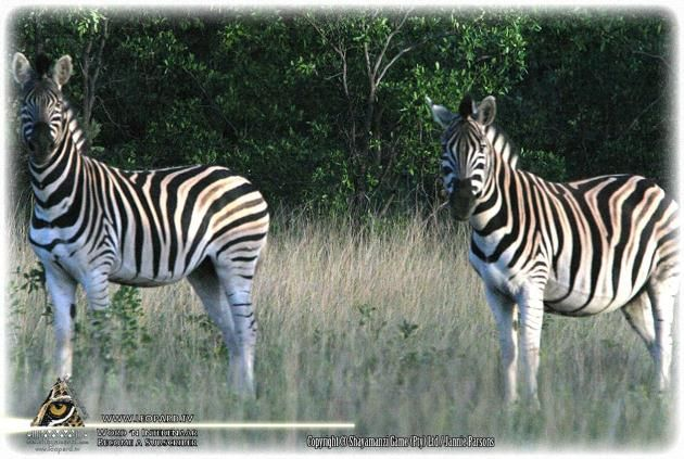 Zebra at Shayamanzi!