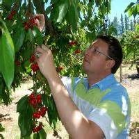 Ficksburg Cherry picking   yummie