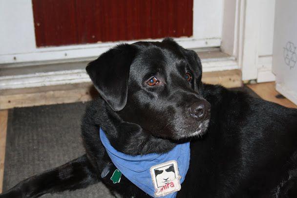 MIRA  -  Son fondateur est Éric Saint-Pierre. Le 21 octobre 1981, celui-ci présenta à deux personnes aveugles les deux premiers chiens guides dressés au Québec.  En 1991, MIRA développe un chien appelé à devenir la première race hautement sociable créée par l'homme dans le but de venir en aide à des humains : le Labernois. Depuis sa création en 1981, MIRA a formé plus de 1 700 chiens guides et chiens d'assistance. Avec le temps, de nouveaux besoins sont apparus. La fondation MIRA a donc…