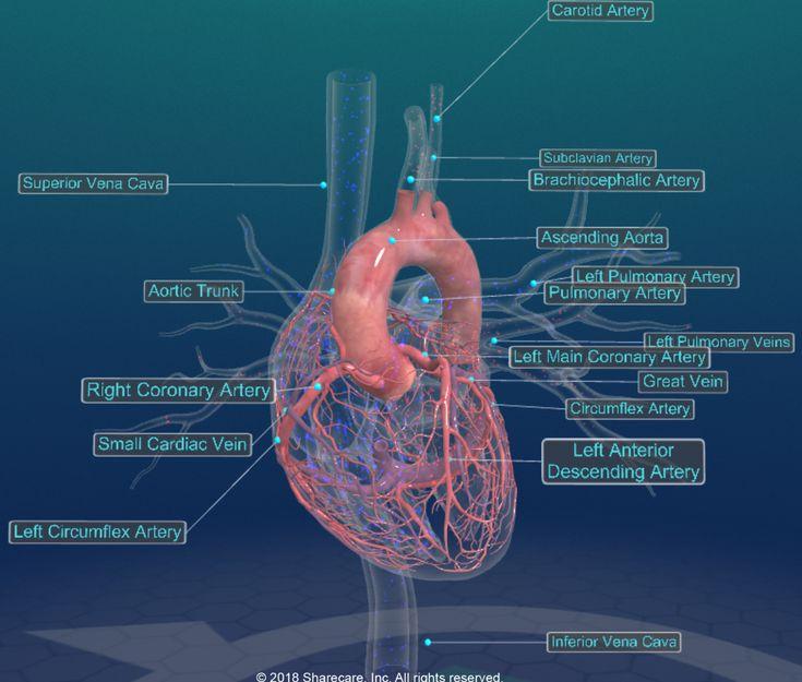 Digital coronary circulation of the human heart in 2020 ...
