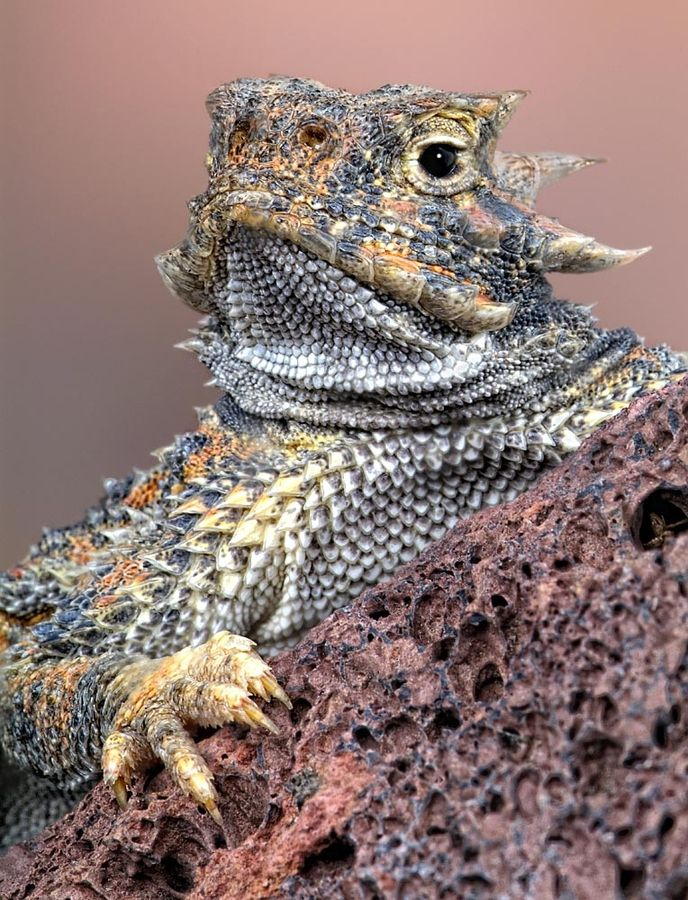 Desert horned lizard. I REALLY LIKE THE SHAPE OF THE SCALES/ PARTICULARLY THE ARMS/ HANDS ON THE LIZARD- INCORPORATE INTO DESIGN FOR LATEX lizard hands for photo shoot.