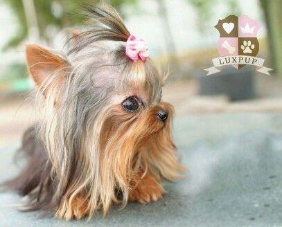 Yorshire terrier mini toy ♡