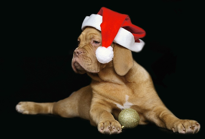 Dogue De Bordeaux Merry Christmas Baby French Mastiff Puppy Holiday Dogs Santa Claus Dog Puppies