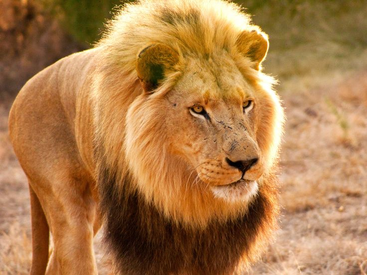#South #Africa: A male lion approaches the bait for the speed test. #picoftheday #NatGeoChannelGR #NGC
