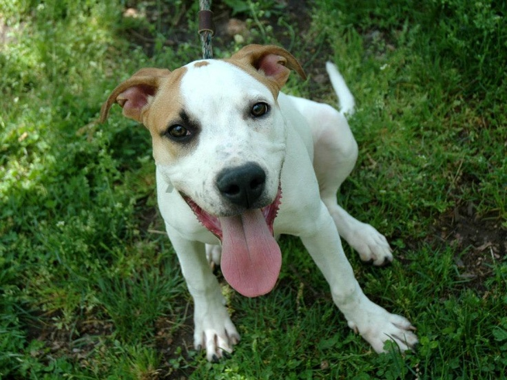 SAFE***5/19/13 Manhattan Center SPICE A0964861 Male white/brown pit bull mix about 7 MONTHS old.Spice is an energetic little guy with a huge heart, wonderful spirit and capacity to learn -- oh yeah, he's a puppy!!! And, one in need of a good home. PLS share so he can make it passed his first birthday  https://www.facebook.com/photo.php?fbid=610222832323933=a.611290788883804.1073741851.152876678058553=3