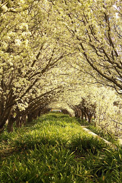 Blossoms near Lake Burley Griffin - Canberra - Australia