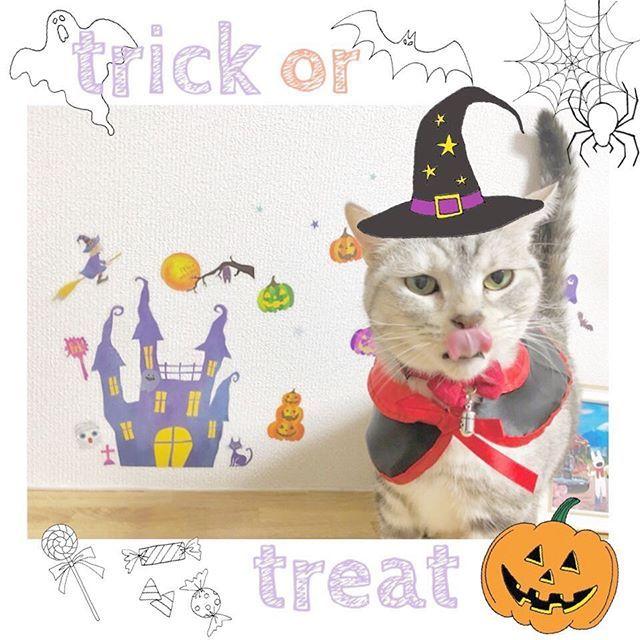 ・ 🍭🍬🍭🍬🍭🍬🍭🍬🍭🍬🍭🍬 もぐもぐもぐ… あっ! とりっく、おあ、とりーと! おやつくれないと、耳吸っちゃうぞ🍼 🎃🦇🌙👻🕷🕸🎃🦇🌙👻🕷🕸 ・  #トリックオアトリート#鼻がハート#むう#ハロウィン#Halloween#ciaoちゅーる#ちゅーる#はろうぃん#チャオちゅーる#にゃんだふるらいふ#アメショー#みんねこハロウィン祭り#保護猫出身#愛猫#愛猫家#ぽっちゃり猫#猫グッズ#猫用品#アメショーもどき#ハロウィンコスプレ#ハロウィンコス#ハロウィンパーティー#ウォールステッカー#happyhalloween#ハロウィン仮装#魔女っ子#みんねこ