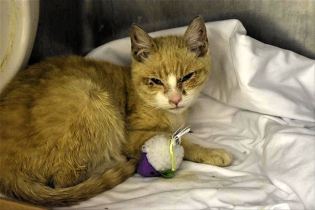 URGENT Lenox 21579 LENOX is a 4 month old kitten who has a URI and conjunctivitis. He is congested and dehydrated and needs a home asap where he can get follow up vet care and recuperate.