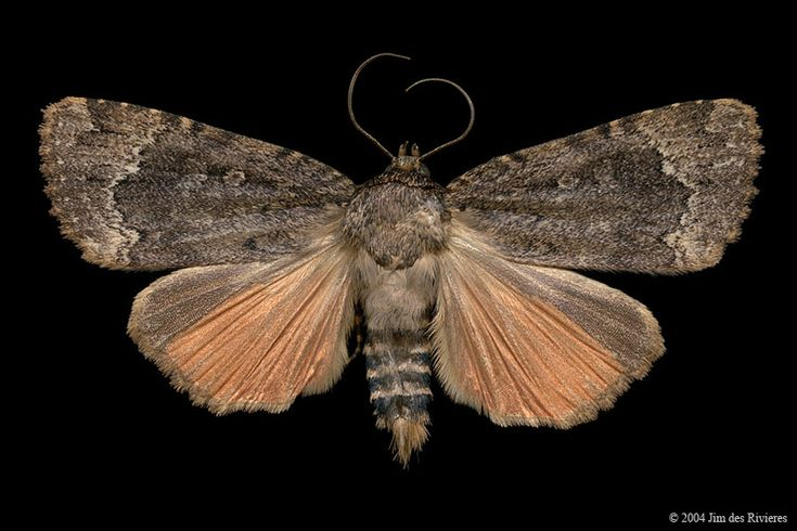 Copper Underwing (Amphipyra pyramidoides) - White Lake, Ontario - August 14, 2004