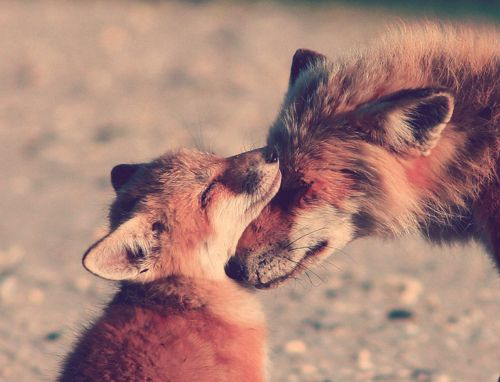 : Aww, Cute Baby, Mothers, Snuggle, Beautiful, Adorable, Baby Foxes, Red Foxes, Animal