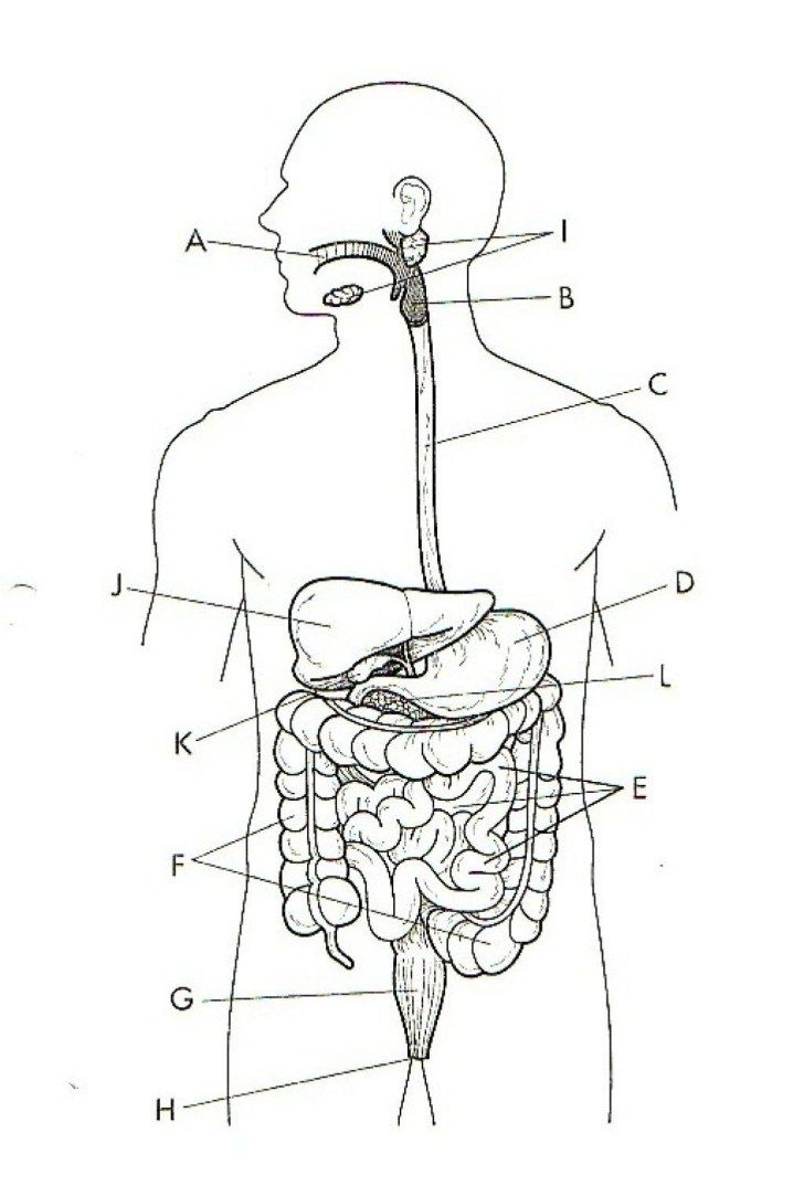 Unlabeled Diagram Of The Digestive System Body Diagram
