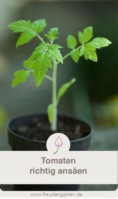 Tomaten für den Garten oder Balkon wachsen sehr gut mit ein paar Tricks …   – Garten