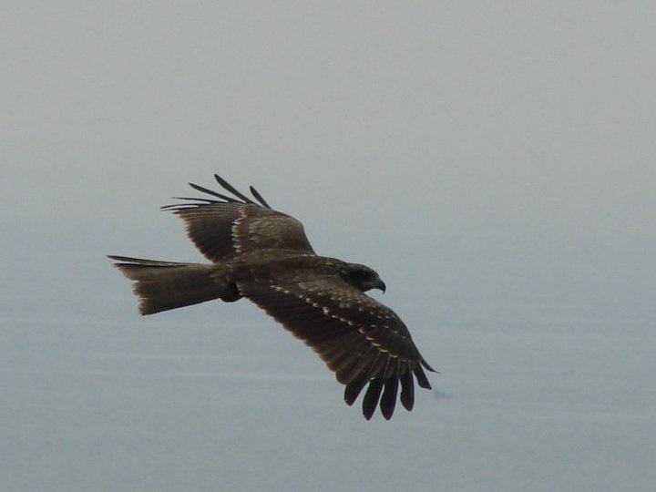 A Hawk gliding off the coas near Chapora Fort, Goa, (Heaven :P)