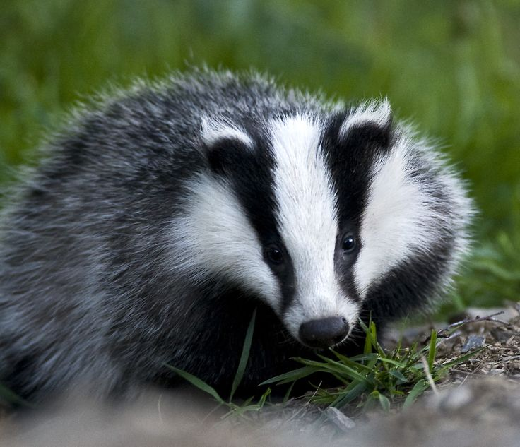 Fuzzy Little Badger....saw a pair of these on a rural home visit.  Awesome!