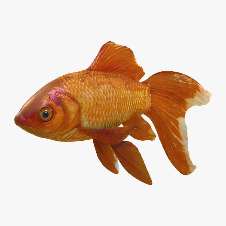 25 best ideas about common goldfish on pinterest fish