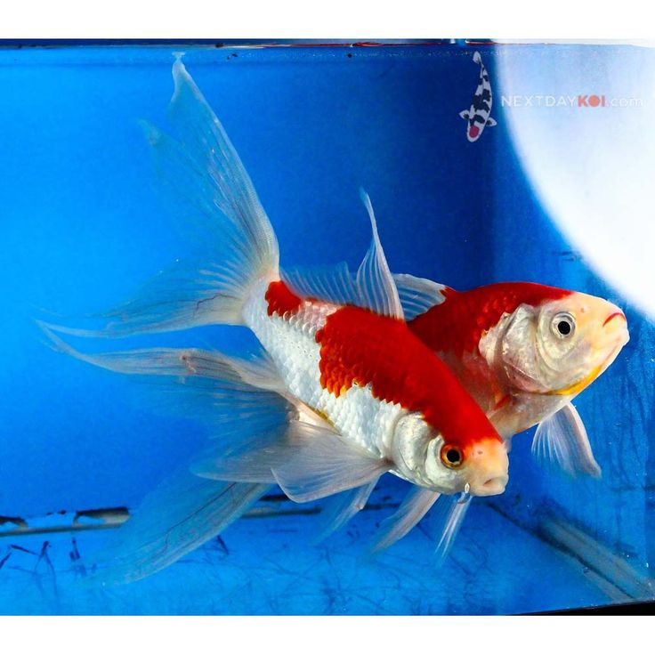 72 best goldfish and koi images on pinterest goldfish for 405 tropical fish