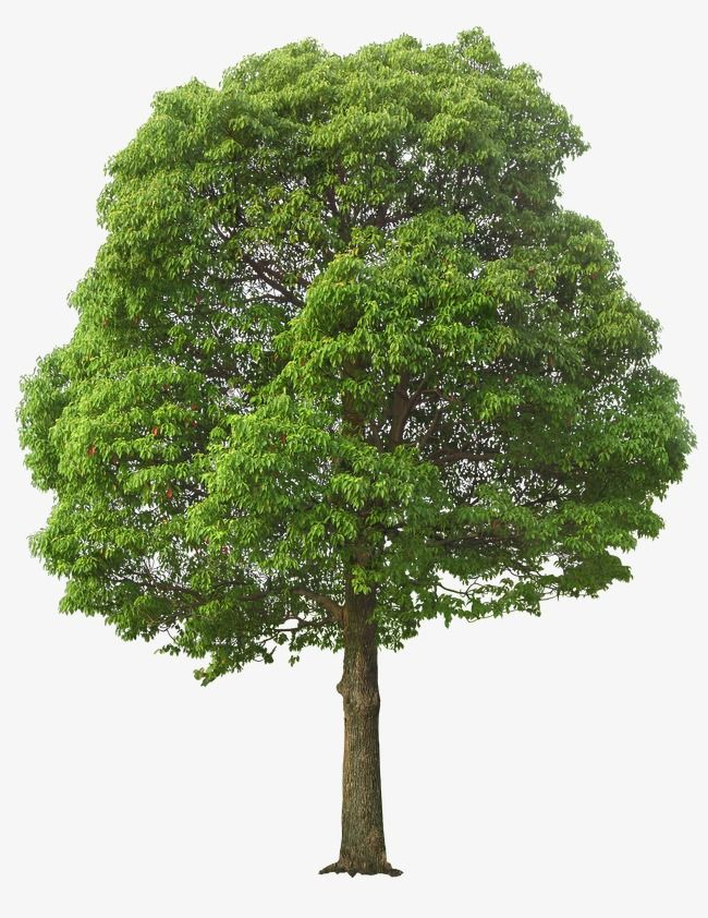 Lush Tree Tree Clipart Maunsell Trees Png Transparent Clipart Image And Psd File For Free Download Tree Photoshop Autumn Trees Tree Clipart