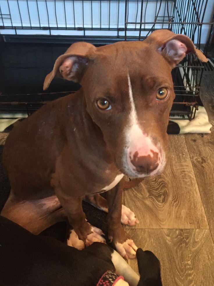 American Pit Bull Terrier dog for Adoption in Monroe, NC. ADN-645291 on PuppyFinder.com Gender: Female. Age: Baby