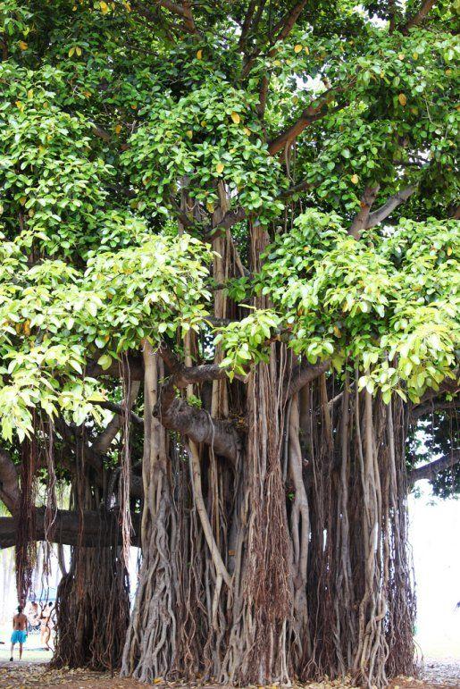 Banyan el Árbol, India - el árbol nacional de India, los árboles banyan es visto como sagrado por los hindúes debido a su valor medicinal para tratar y curar enfermedades. La mirada del árbol es distinta debido a su enredo de ramas(sucursales), raíces, y el tronco.