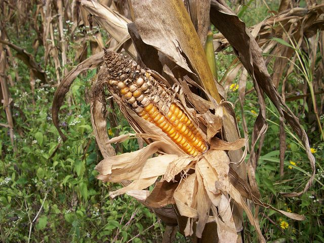 Improper maize cob for harvesting by IITA Image Library, via Flickr