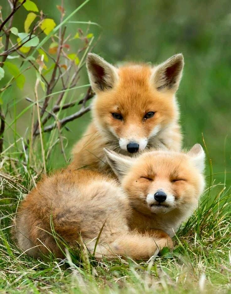Best Foxes Images On Pinterest Red Fox Foxes And Wild Animals - Domesticated baby fox is the cutest and sleepiest pet ever