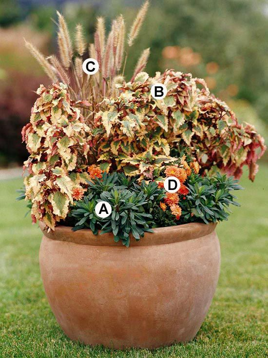 This container looks great because the natural terra-cotta hues echo through all the plants.    A. Euphorbia amygdaloides 'Efanthia' -- 2    B. Coleus (Solenostemon 'Ulrich') -- 2    C. Indiangrass (Sorghastrum nutans) -- 1    D. Orange mum (Chrysanthemum 'Festive Ursula') -- 2