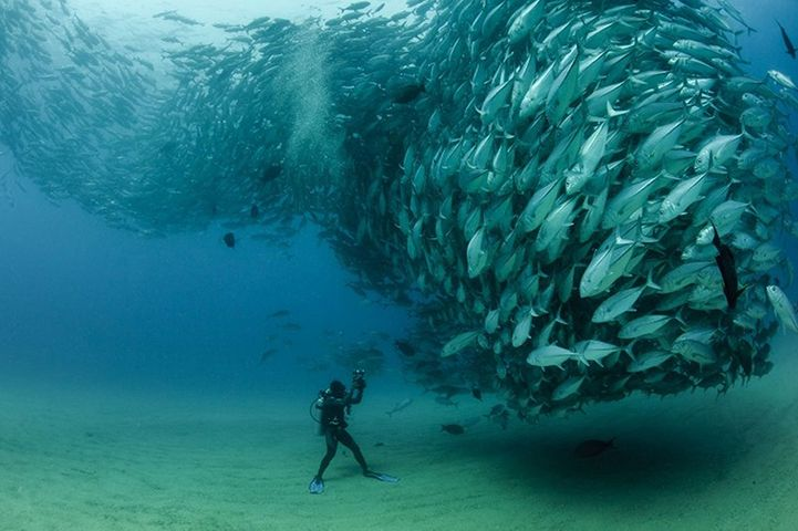 Thousands of fish in a school in a circular flow near the bottom of the ocean