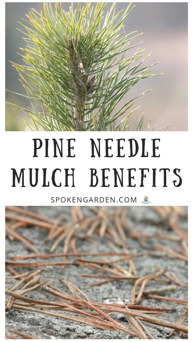 Pine Needle Mulch Benefits Exposed Diy Garden Minute Ep 62 Spoken Garden Pine Needles Garden Mulch Mulch