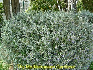 Teucrium fruticans: Photo Collection, Mediterranean Gardens, Teucrium Photo, Teucrium Frutican, Dry Climate, Essential Shrubs, Growing, Gardens Plants, Hot Dry