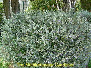 Teucrium fruticans: Garden Plants, Shrubs